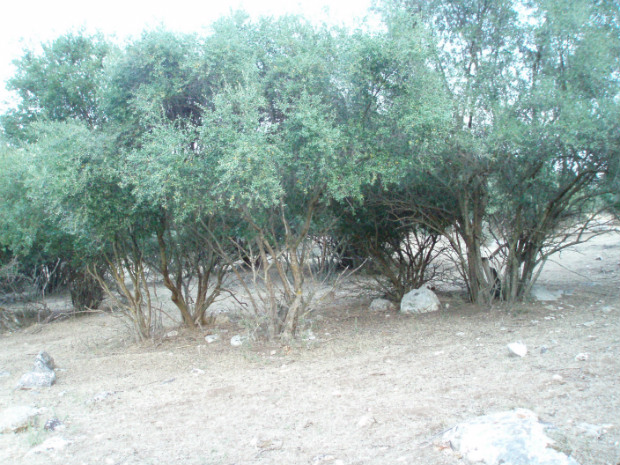 macchia mediterranea ad olivastro