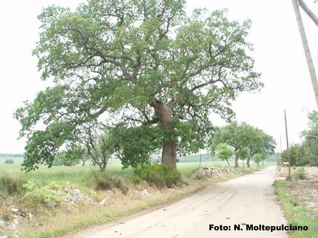 montepulciano-quercia1