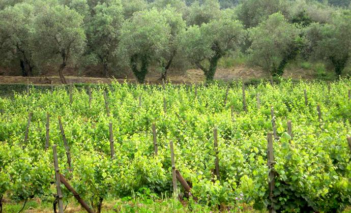 oliveti e vigneti