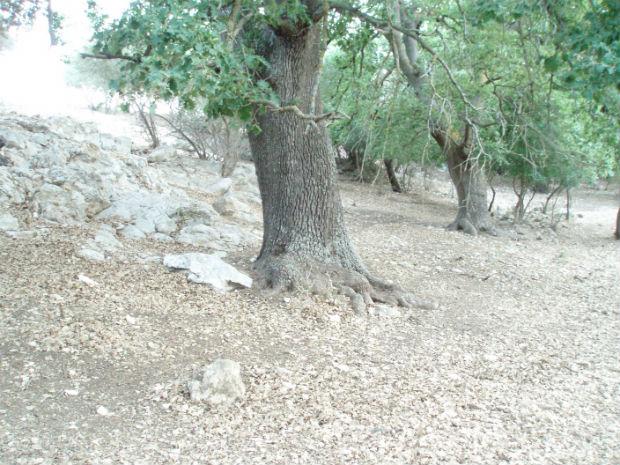 Quercia secolare in ambiente tipicamente murgiano (masseria ducale Troianelli)