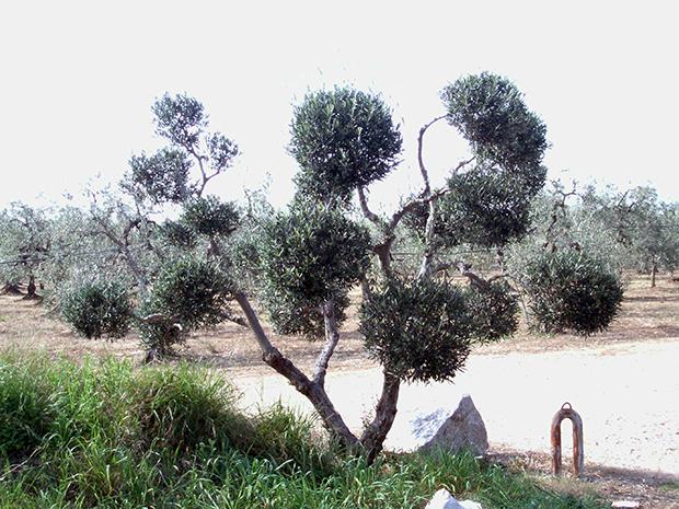 ulivi-pompon-ad-Andria