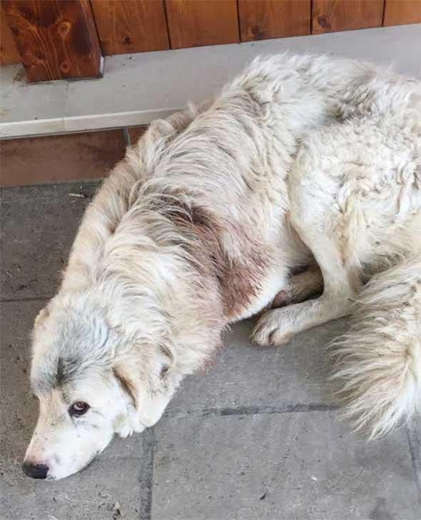 cane-ferito1