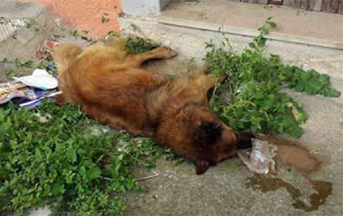 cane-morto-avvelnato-a-banzi1