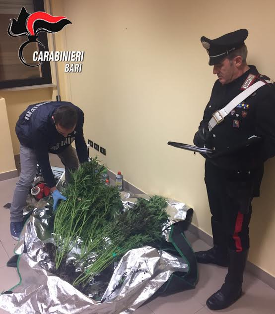 marijuana-a-corato