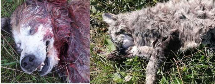 """Andria: gatto morto vicino a Nonno Dolce Sgozzato. Carabinieri sulle tracce dell'assassino. Guardia ecozoofila: """"qualcuno sta sterminando cani e gatti"""". I volontari colpiti psicologicamente"""