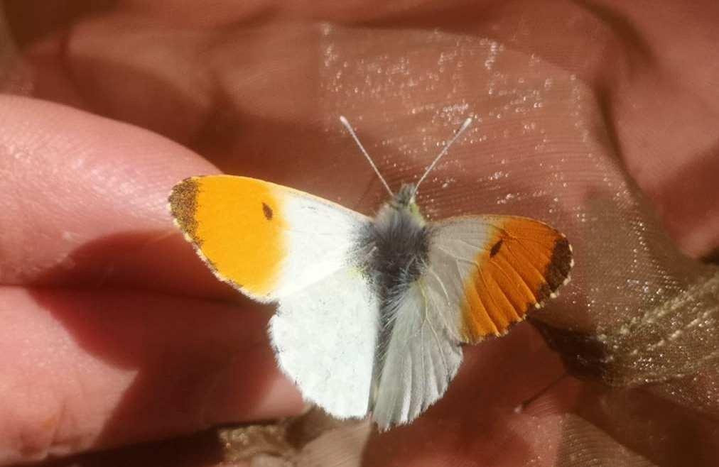 farfalla alta murgia