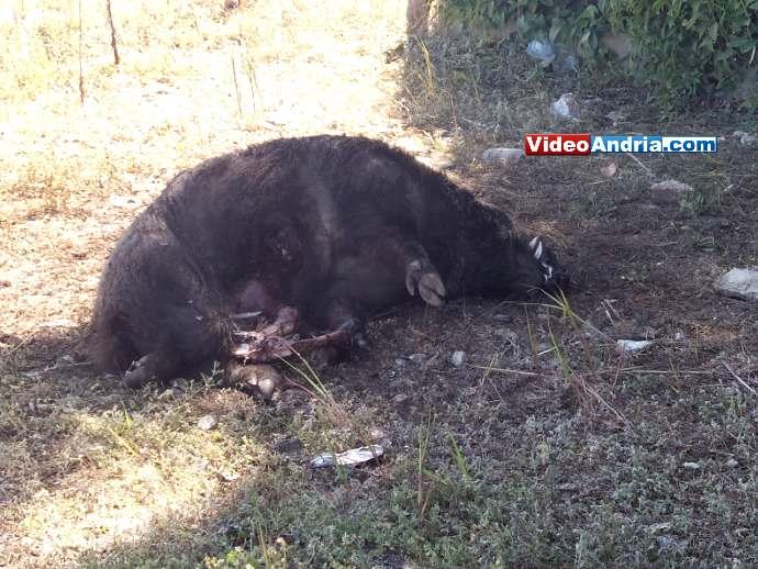cinghiale morto andria