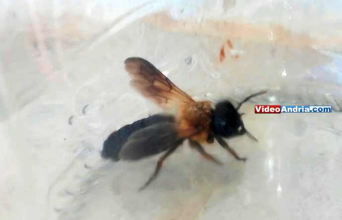 ape cinese andria