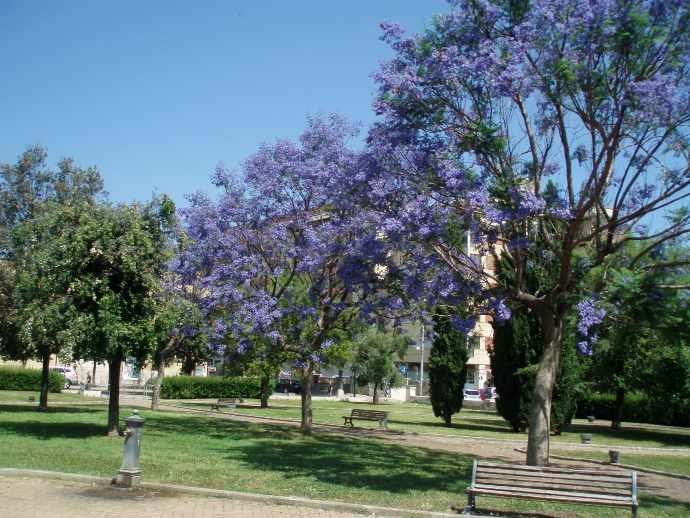 pianta albero blu andria