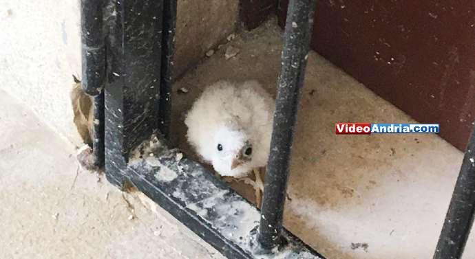 pulcino falco andria