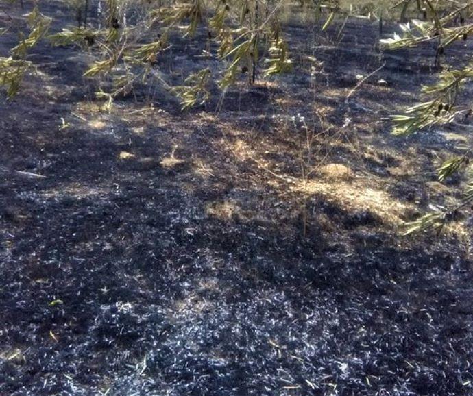 Incendio ad Andria, in fumo 1000 alberi di ciliegie, prugne e olivi 1
