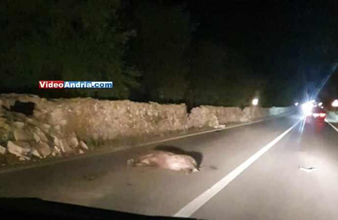 cinghiale morto andria castel del monte strada statale 170 incidente